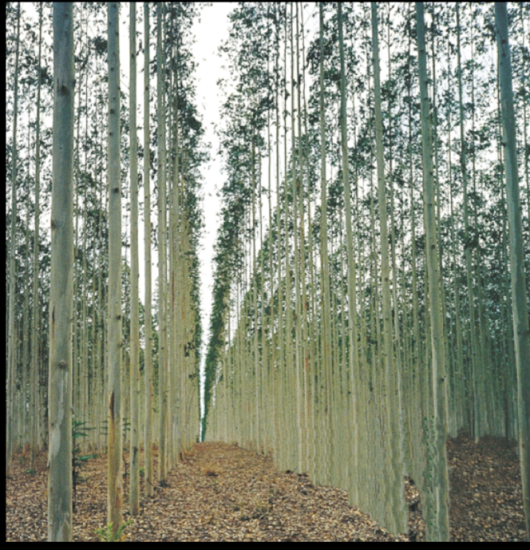 Tree Plantation. Photo: WRM