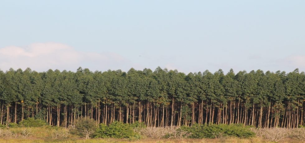 Monoculture Tree Plantations And Ge Trees In The United States An