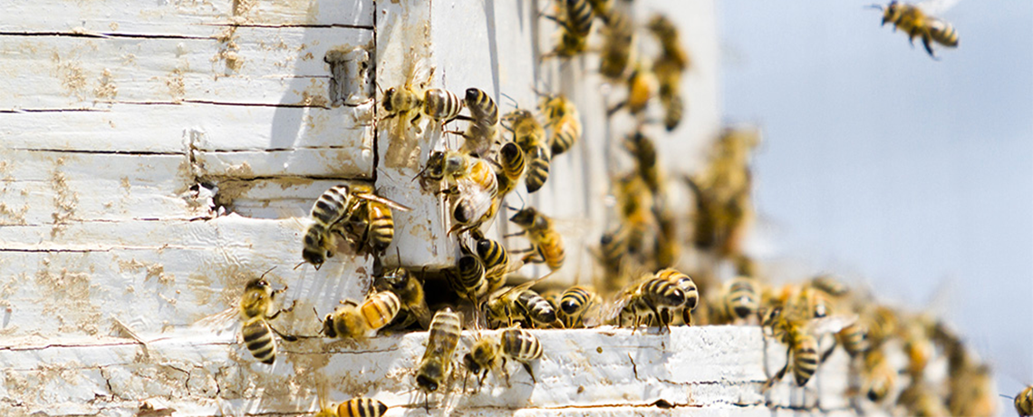 Throwing Nature Under the Bus: GMO Bees and Robo-bees