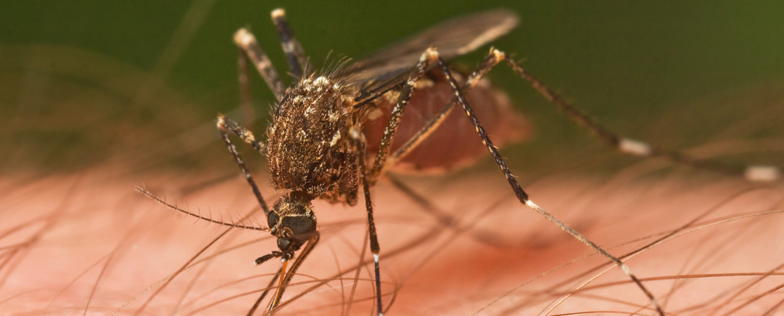 'No Benefits' to Planned Release of Genetically Modified Mosquitoes